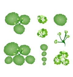 A Set of Asiatic Pennywort on White Background vector image
