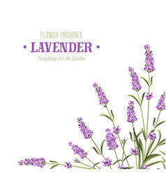 Bunch of lavender flowers vector