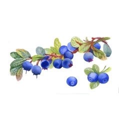 Watercolor blueberry on white background vector image vector image