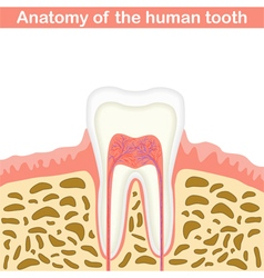 Anatomy of human tooth vector