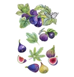 Watercolor set of figs on white background vector