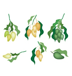 Set of Mango Fruits on White Background Background vector image