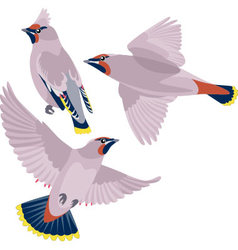 Waxwing on white background vector image vector image