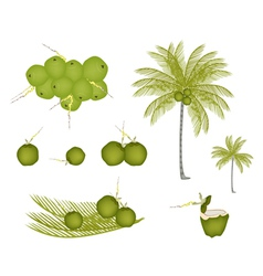 Set of palm tree with green coconuts vector