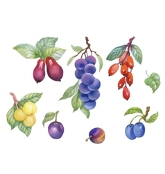 Watercolor berries plum and other fruit on white vector