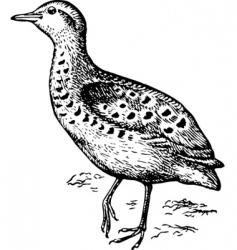 bird buttonquails turnicidae vector image