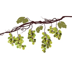 Vine with green grapes vector image