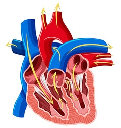 Diagram of inside of heart vector image vector image