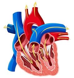 Diagram of inside of heart vector image