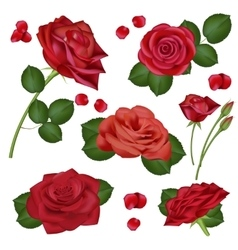 realistic red rose flowers on white vector image