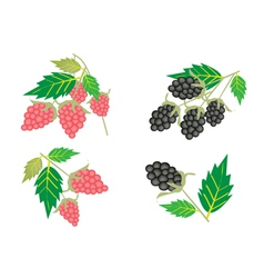 Set of Raspberry and Blackberry vector image