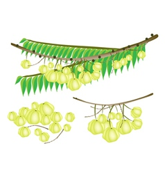 Set of Star Gooseberry on White Background vector image vector image