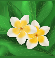 plumeria flowers with green leaves vector image