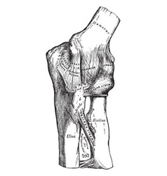 Elbow showing internal ligaments vintage vector