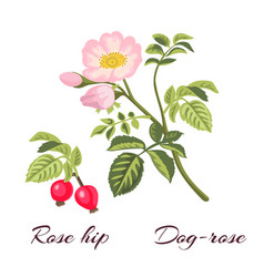 dog rose flowers and rose hips vector image vector image