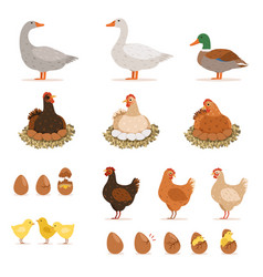 Chicken brood hen ducks and other farm birds and vector