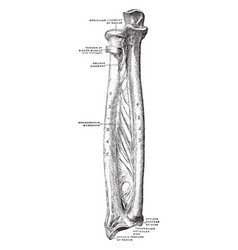 Bones and ligaments of forearm vintage vector