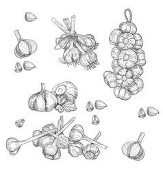 Hand drawn set of garlic stylized black vector