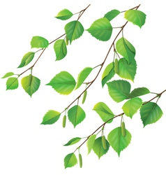 Birch branches vector