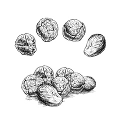 Hand drawn set of brussels sprouts sketch vector