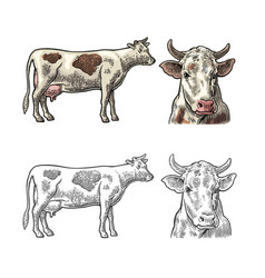cow side and front view hand drawn in a graphic vector image vector image