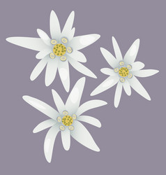 edelweiss flowers white flowers vector image