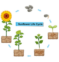 diagram showing life cycle of sunflower vector image