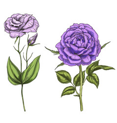 Violet rose and eustoma flowers bud leaves vector