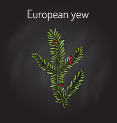European yew taxus baccata poisonous plant vector