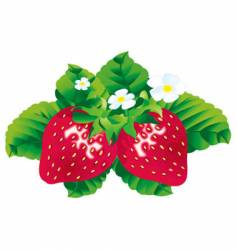 Strawberries vector
