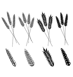 Grain corn wheat vector image vector image