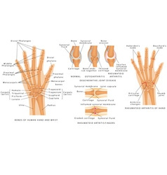Skeletal system phalanges vector