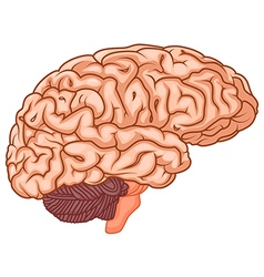 medically accurate of the brain vector image