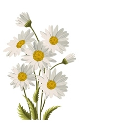 Beautiful white daisies vector image vector image