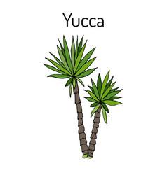 Yucca gloriosa medicinal plant vector
