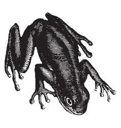 Green tree frog vintage vector
