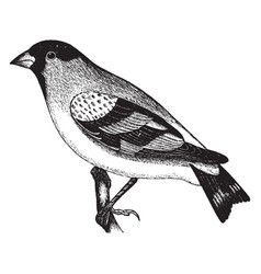 Lawrence goldfinch vintage vector