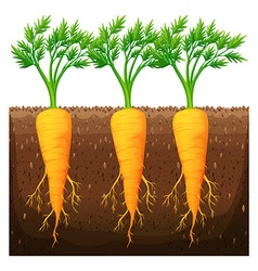 Fresh carrot growing in the field vector