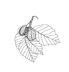 Beech branch with leaves and fruits hand drawn vector