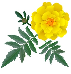 Realistic yellow marigold flower vector