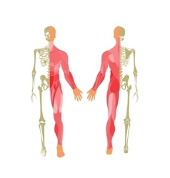 Human bony and muscular system front and rear vector