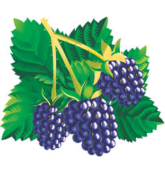blackberries vector image vector image