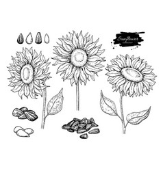 Sunflower seed and flower drawing set hand vector