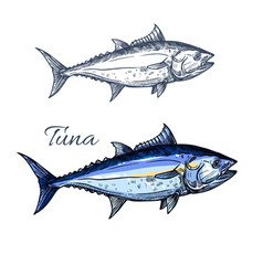 Tuna fish sketch with atlantic bluefin tunny vector