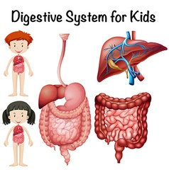 Digestive system for kids vector