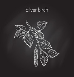 silver birch branch with leaves vector image