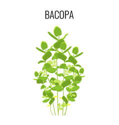 Bacopa ayurvedic aquatic plant isolated on white vector