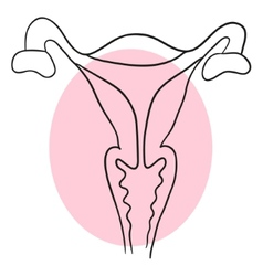 uterus is a cross-sectional vector image