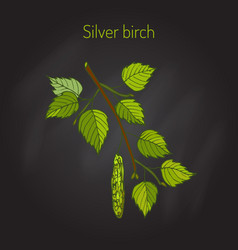 Silver birch branch with leaves vector