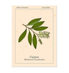 Cajeput melaleuca leucadendron or weeping vector